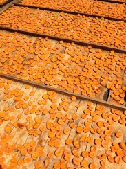 Apricots drying. Courtesy Robin Chapman.